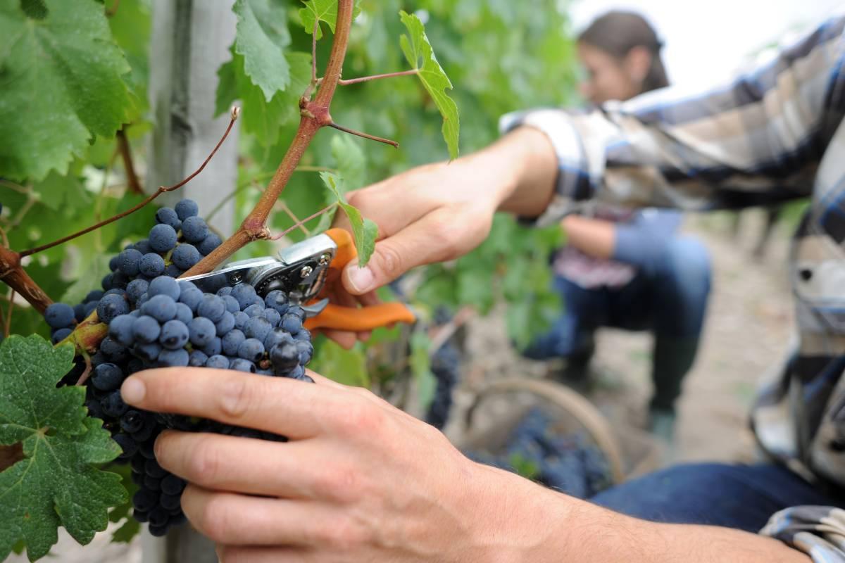 grozdje vinograd berba
